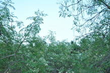 المورينجا فوائد المورينجا بذور وشتلات المورينجا مشروع المورينجا 26.png