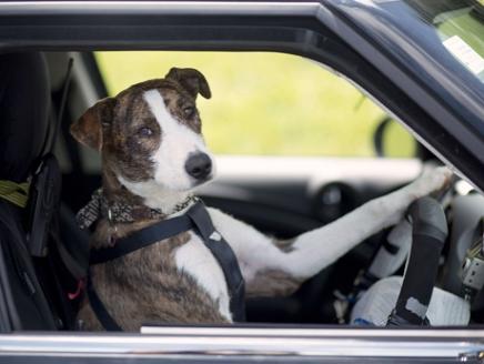 الكلاب المهملة السيارات نيوزيلندا 40.jpg